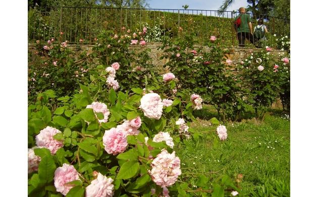 rose-garden-of-florence-rose
