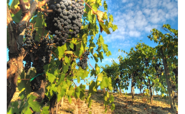 cantine-aperte-tuscan-wineries-open-doors-sangiovese